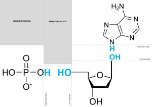 foldable nucleotide PDF